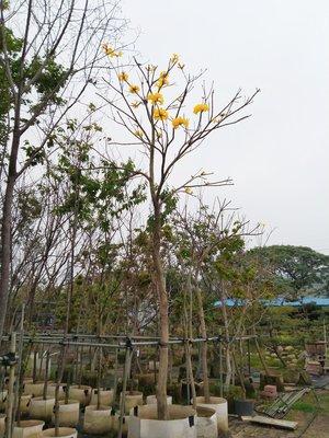黃金風鈴木,新竹免運費,美植袋,米徑10公分,高度500公分,庭院園藝造景,大樓居家綠化,黃花風鈴木《樹精靈景觀造園》