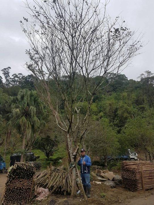 青山園藝  流蘇  單幹米徑約18cm   七里香桂花風鈴木紫薇黑松鳳凰