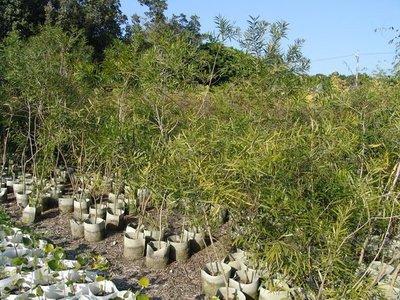 ╭*田尾玫瑰園*╯造林樹種-(台灣相思樹)盆植