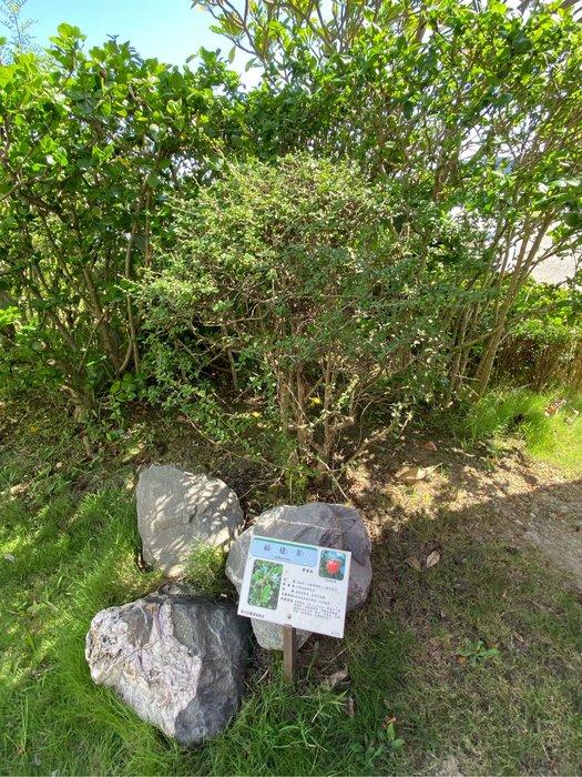 福建茶 5吋植株 + 盆 水。另有大顆的價格另議(景觀植物)/基及樹/滿福木/迷你盆栽