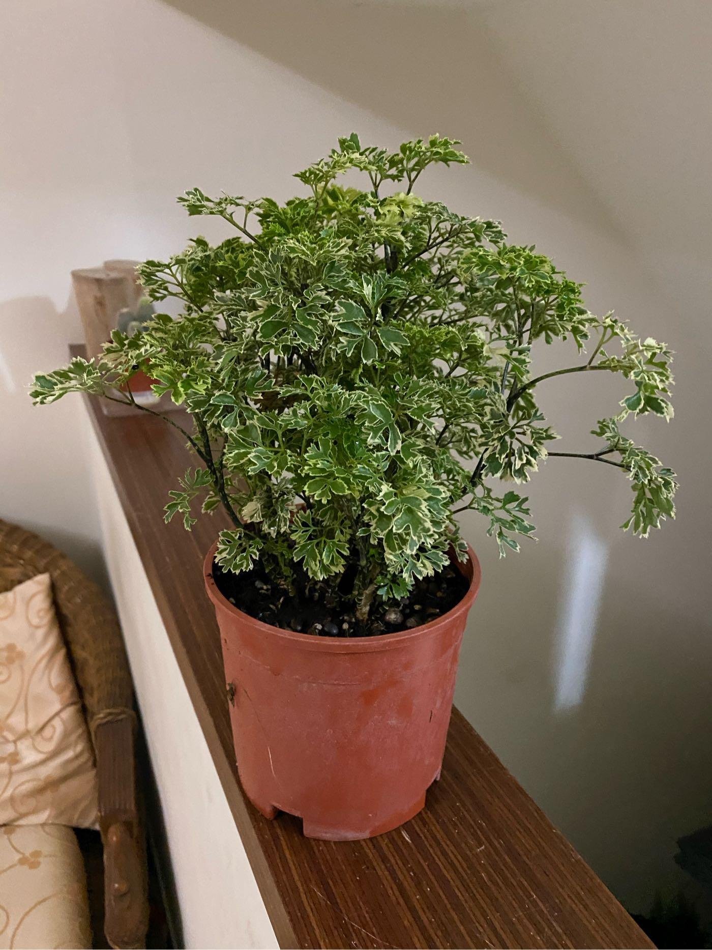 雪花福祿桐六吋的沒有人比我更便宜學名:Polyscias spp. 俗名:富貴樹室內耐陰增濕的福祿桐,比發財樹、幸福樹好
