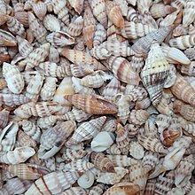 【鑫寶貝】貝殼DIY  貝殼材料 11.綜合小筆螺  10顆(一包20元)  材料貝  任買十包送一包