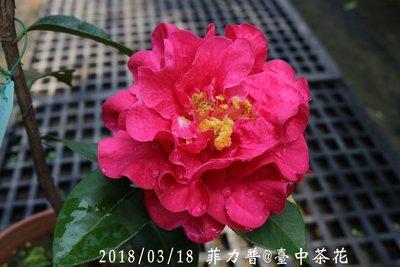 台中茶花- 菲力普- (原棵茶花) - T30