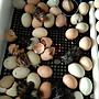 全自動孵蛋機 孵蛋器 孵蛋箱 自動翻蛋 孵化器 滾動翻蛋 雞蛋 56枚
