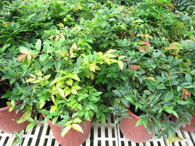 ╭*田尾玫瑰園*╯水果苗-(嘉寶果)(樹葡萄)5吋紅盆高20cm
