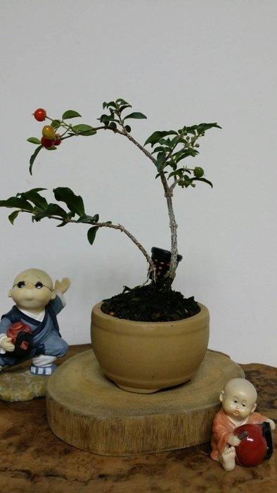 台中瘋小品-小品盆栽-李氏櫻桃-5-特價