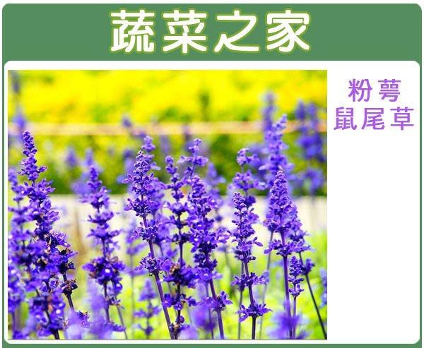 【蔬菜之家】H17.粉萼鼠尾草種子50顆(藍花.多年生.株高約50-70公分.莖直立.多分枝.花卉種子)