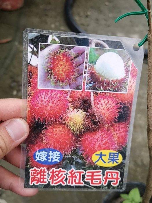 ╭*田尾玫瑰園*╯水果苗--(紅毛丹)嫁接苗-高50cm1800元-經濟果樹