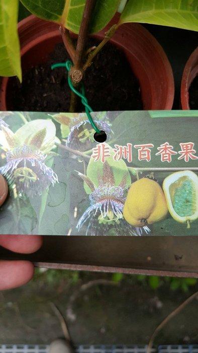 ╭ *田尾玫瑰園*╯新品種水果苗-(非洲百香果)3吋200元