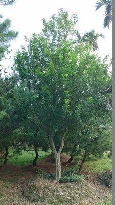 庭園樹-七里香X6(另售竹柏五葉松梅子樹雪松羅漢松樹葡萄桂花雞蛋花台灣油杉)