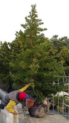 ╭*田尾玫瑰園*╯庭園用樹--(蘭嶼羅漢松)未修剪-高2.5米4000元/株