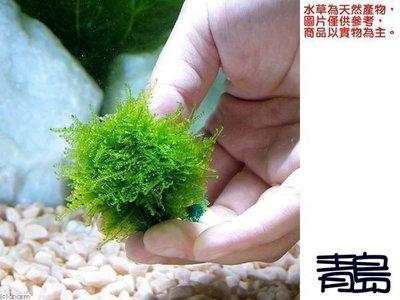 。。。青島水族。。。臺灣天然水草----【陰性】南美小三角莫絲 莫斯 默思(石片)==10片160