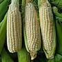 無毒北海道水果玉米 8斤免運費賣320元(尾巴蟲咬或缺米)  #可以生吃品種 #宅經濟 #玉米 #雲林縣慧軒農場