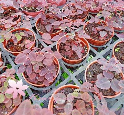 *芙菈朵森林* 園藝館 小紅楓 3吋盆 觀葉植物 樹苗 小品