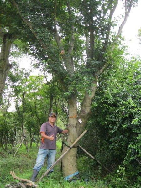 (青山園藝) 青楓 米俓20~30cm 高度約6~10米  象牙木肖楠紫檀黑松真柏桂花黃楓羅漢松七里香