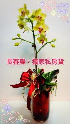 新貨到,蘭心惠質,桌上型蝴蝶蘭(單款)$480