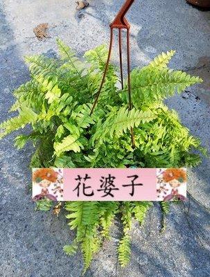 虎斑瀑布蕨/5吋/綠化植物/室內植物/觀葉植物/蕨類1入