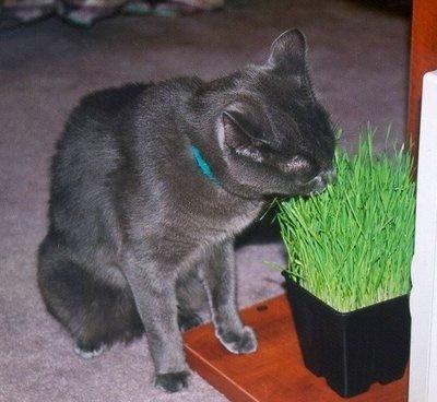 貓草Catgrass 種子 --- 適合 貓,狗,兔,龍貓,倉鼠,金毛鼠,陸龜
