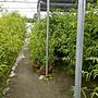 老農夫園藝 葉子+梗(1斤100元)/(6斤500元)/優盾草/憂遁草/沙巴蛇草/溫室栽種