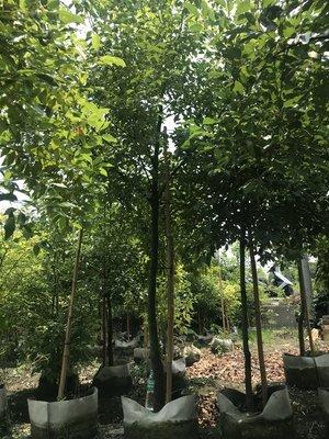 樟樹,行道樹,工程用