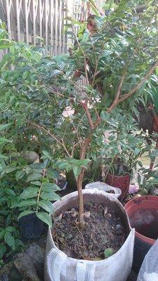 錦山苗圃福岡樹葡萄