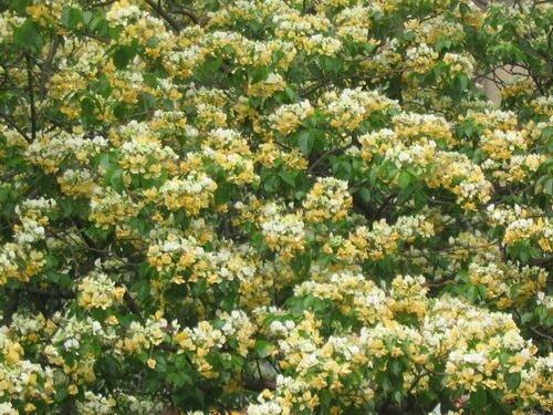╭*田尾玫瑰園*╯優良誘蝶樹種--(魚木)--樹形優美,可栽做景觀植物(冬天會落葉)