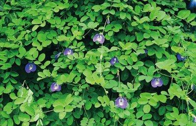 蝶豆花 種子  台灣本土 2顆1元   當季新鮮種子