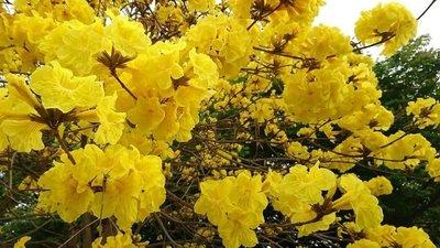 (青山園藝) 黃金風鈴木 頭俓約15~20cm.高度5~6米. 桂花含笑櫻花肖楠