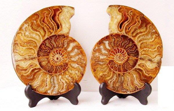 小風鈴~天然頂級完整七彩斑彩螺化石~一對擺件(重1394g)辦公居家風水螺!