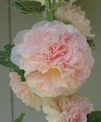 英國花園Alcea rosea Maid of Honour 重瓣蜀葵種子盆栽陽臺花壇易播好養:5入