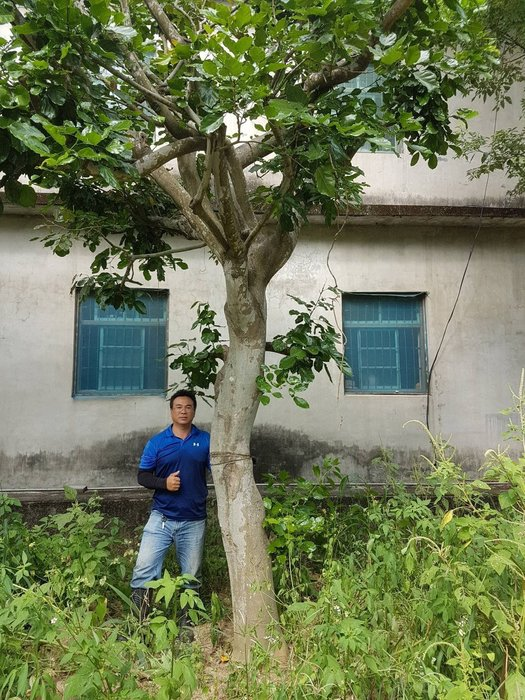 (青山園藝) 水黃皮 米俓約30cm 高度約5~6米  肖楠黑松真柏桂花黃楓羅漢松七里香