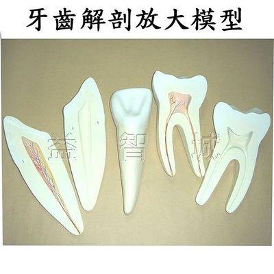 益智城新館《教學人體模型/牙模型/牙齒放大模型/牙齒解剖模型/牙解剖模型》牙齒模型~牙齒解剖放大模型(門牙/犬齒/臼齒)