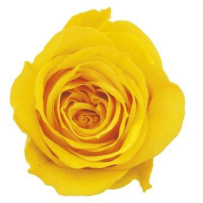 (預約)玫瑰 10盒入 DO003840-521 ローズ ミミ