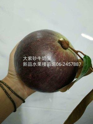 💯大紫砂牛奶果嫁接苗(新品水果種苗場)
