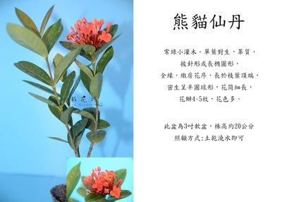 心栽花坊-熊貓仙丹(3吋)售價40特價35