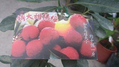水果苗 ** 特大甜楊梅 (樹梅) ** 4.5吋盆/高40-50cm 酸甜可口【花花世界玫瑰園】OvO