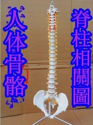 【易發生活館】獨家最新款脊柱模型人體脊椎1:1脊椎模型人體骨骼模型
