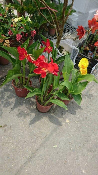 ╭*田尾玫瑰園*╯觀賞植物-(美人蕉)5吋盆130元