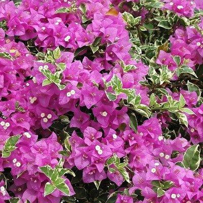 斑葉九重葛/7吋/綠化植物/開花植物/觀花植物/香花植物/7吋/50~70公分