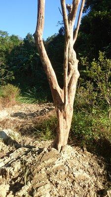 錦山苗圃九芎樹