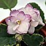 堤緣花語陶- 淨化室內空氣植物- 非洲紫羅蘭 B...