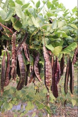 【大包裝蔬菜種子】紫蝶紫翼豆~~開花後約10天可採收。