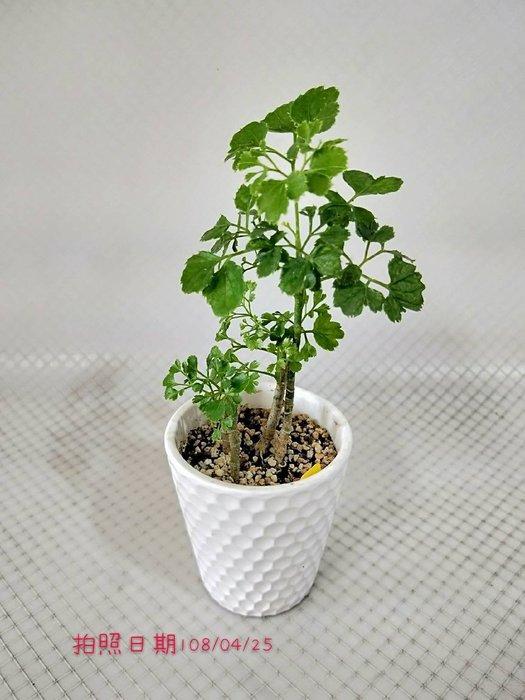 易園園藝- 芹葉福祿桐樹F25(福貴樹/風水樹)室內盆栽小品/盆景高約20公分