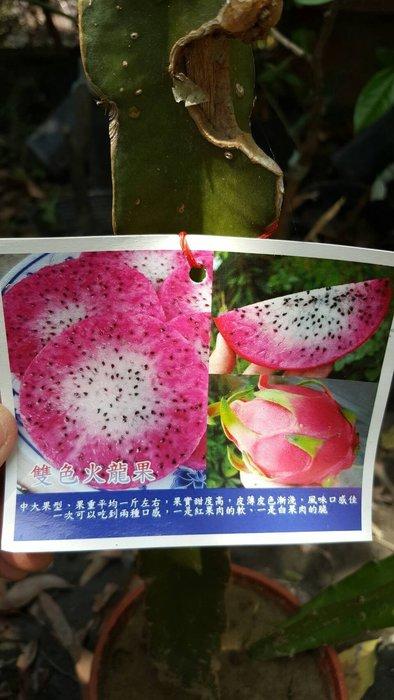 ╭*田尾玫瑰園*╯新品種水果苗-(雙色火龍果)高30cm300元/株