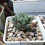 多肉植物  玉露(凡購買即可獲贈以下植物枝條任選一種,送完為止……姬秋麗,重扇,銀之太鼓等)