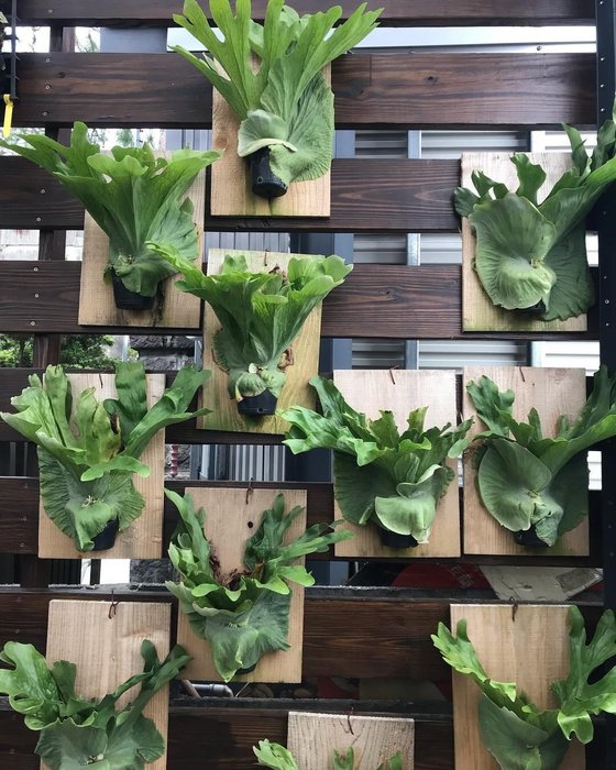 女王鹿角蕨 植栽牆 花牆 森林系 綠化  空氣皆可佈置 喜歡種植物的有群組可優惠