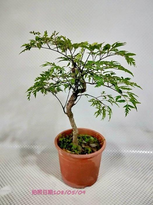 易園園藝- 羽葉福祿桐樹F49(福貴樹/風水樹)室內盆栽小品/盆景高約43公分