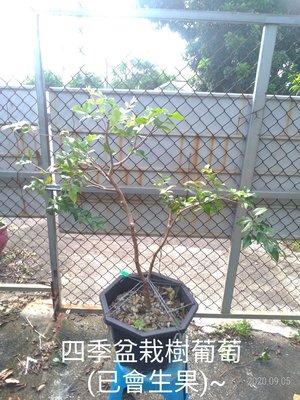 四季盆栽樹葡萄-(四)~~~已生果喔~