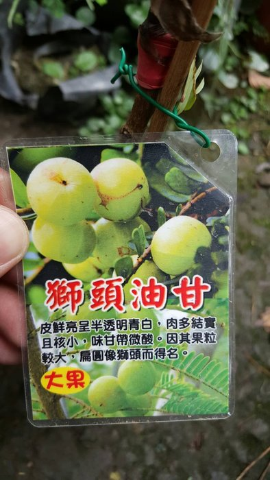 ╭*田尾玫瑰園*╯水果苗(獅頭油柑嫁接苗)高30cm650元