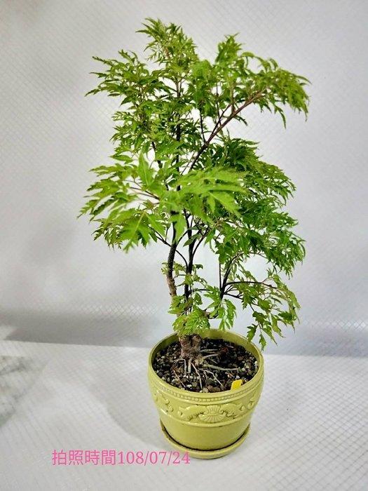 易園園藝- 羽葉福祿桐樹F33(福貴樹/風水樹)室內盆栽小品/盆景高約33公分